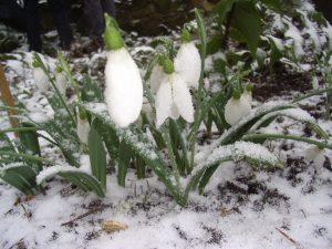 snowdrops close-up