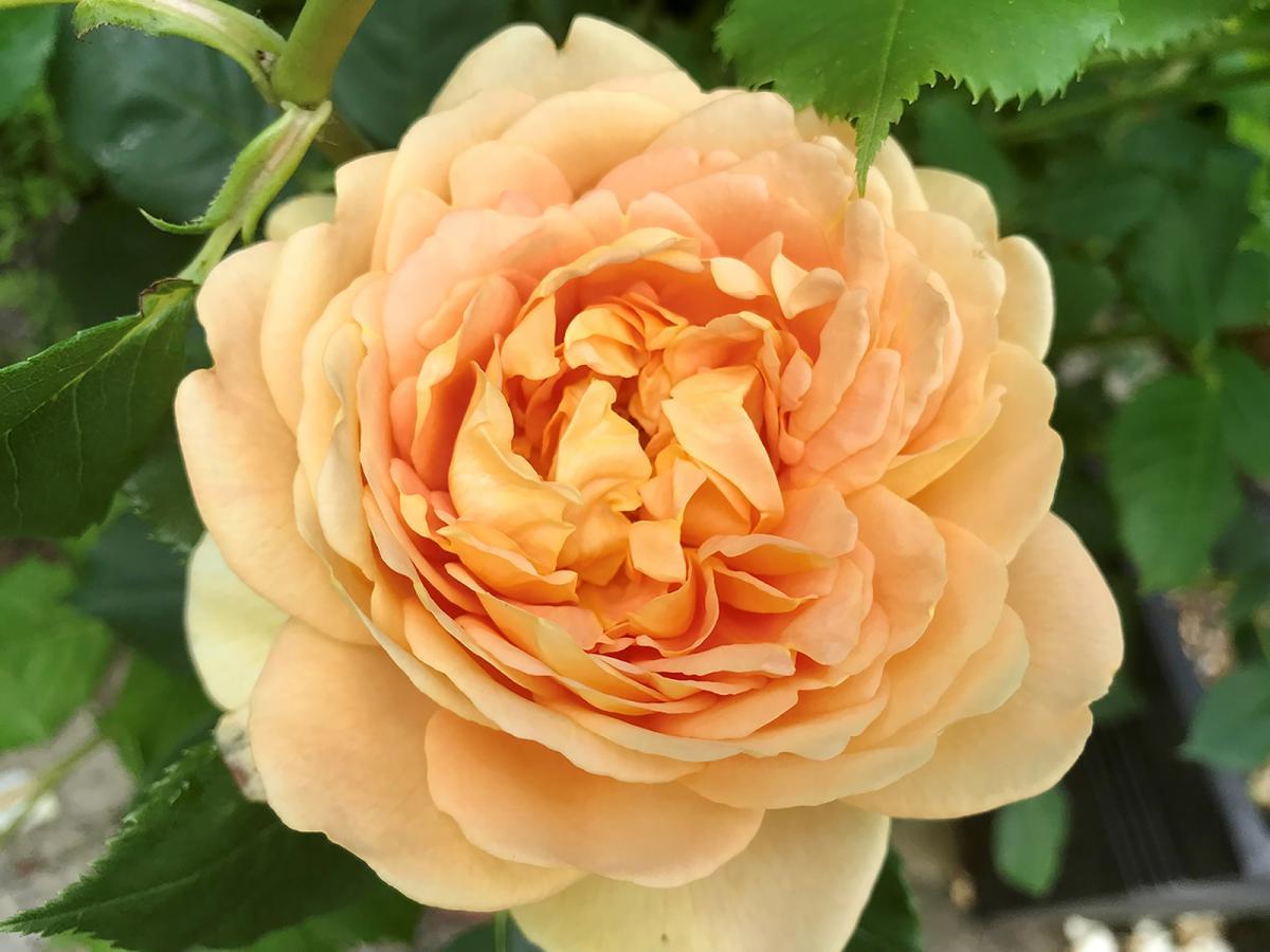 1st Doris Marjoram - large rose