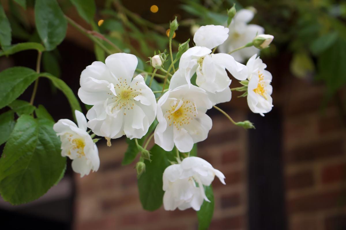 1st Karen Cozens - cluster rose