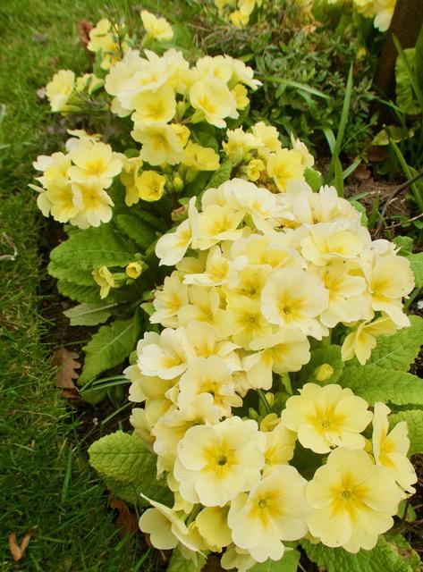 Polyanthus (Doris M.)